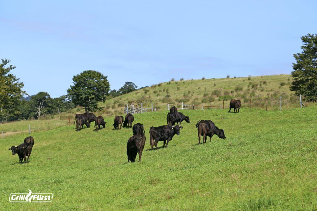 Die Fleischqualität von Wagyu-Rindern wird durch artgerechte Haltung auf saftigen Wiesen beeinflusst.